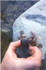 Foto di un granchio